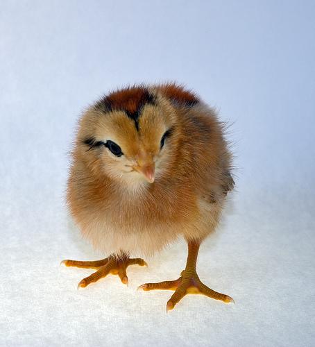 Ameraucana Chick